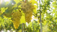 HD DOLLY: White Grapes Illuminated By The Sunlight