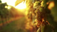 White grapes in the afternoon sun