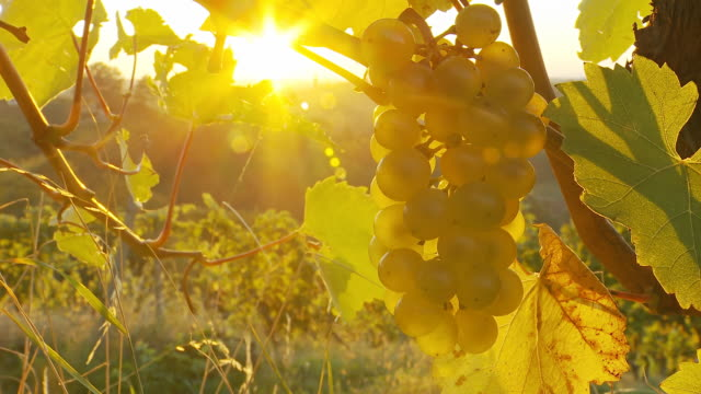HD DOLLY: White Grapes In Vineyard