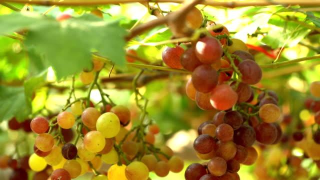 TD:White Grapes In Vineyard