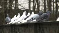 White & Grey Pigeons - HD & PAL