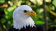 White Head Eagle Close Up