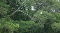 white herons flying at the amazon forest - boat camera