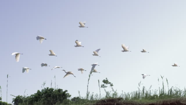 White herons picking up the flight