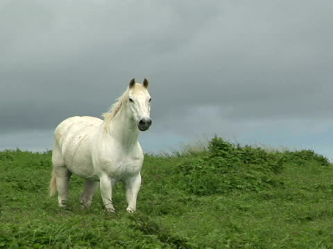 MS white horse on meadow, The Big Island, South Point, Hawaii, USA