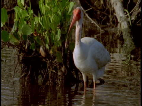 A white ibis bristles its feathers and flies away in the Everglades.