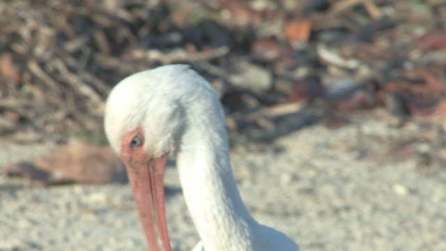 White ibis closeup 3 - HD 30F