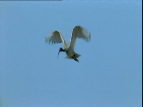 White ibis flies in and joins flock on rubbish tip, Queensland