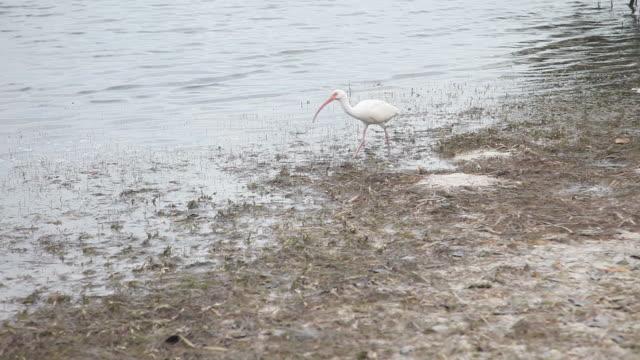White ibis on the beach