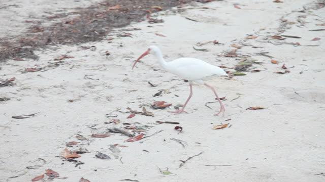 White ibis on the sand