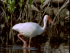 A white ibis stalks by algae-draped branches in the shallows of the Everglades.