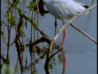 A white ibis strides onto the branches of a bush in the Everglades.