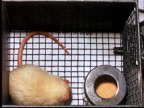 1960 MS OH White lab rat in cage with food/ AUDIO