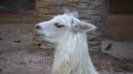 White Llama Close-up