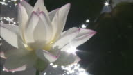 A white lotus flower grows above a sparkling pond.