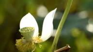 Witte Lotus bloem met bokeh in de vijver HD Video