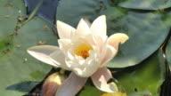 white lotus opening