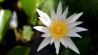 White Lotus , Water Lily of Kauai, Hawaii
