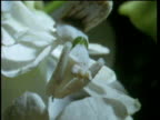 White orchid mantis camouflaged on flowers strikes and eats unsuspecting butterfly.