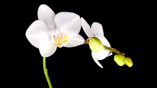 Weiße Orchidee Eröffnung; Zeitraffer