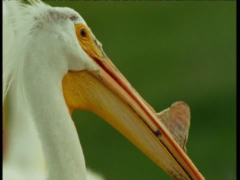 White pelican looks around, North Dakota