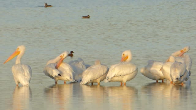 White Pelicans' Early Morning Grooming