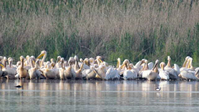 White Pelicans (Pelecanus onocrotalus) large flock resting and feeding during their long migration south.