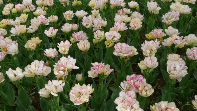 White peony bloom dolly motion