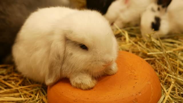 white rabbit sleepy