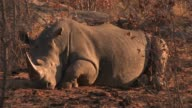 A white rhino rests on dry ground. Available in HD.