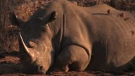 A white rhino rests on the ground. Available in HD.