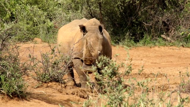 MS White Rhinoceros grazing amongst bushes is suddenly startled/ South Africa