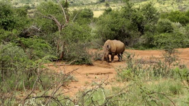 WS White Rhinoceros grazing amongst bushes/ South Africa