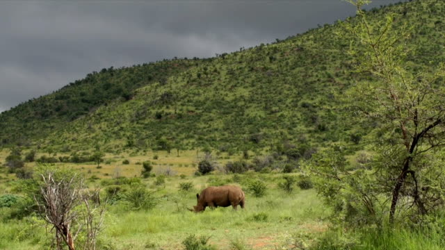 MS White Rhinoceros grazing on green grass, heavy grey storm clouds in background/ South Africa