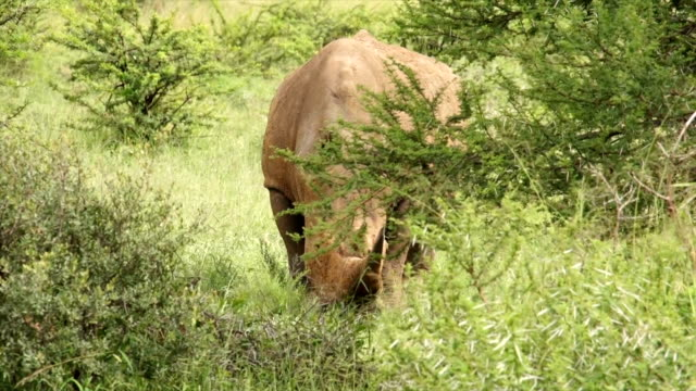MS White Rhinoceros grazing on green grass/ South Africa