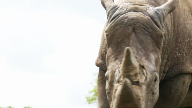 White Rhinocerous