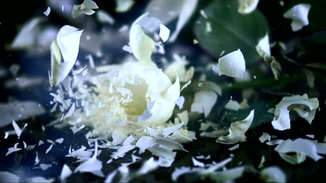 SLO MO White rose blossom shattering on black surface
