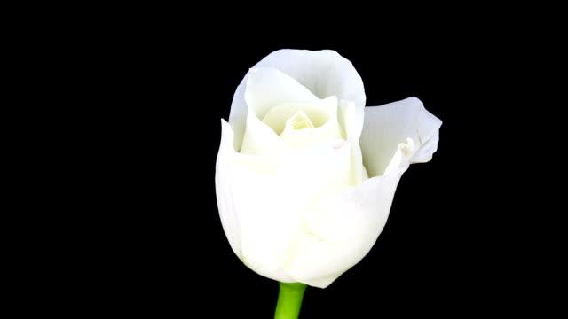White Rose blossom; TIME LAPSE