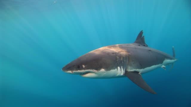 White Shark swims up toward surface sun steams through the water.