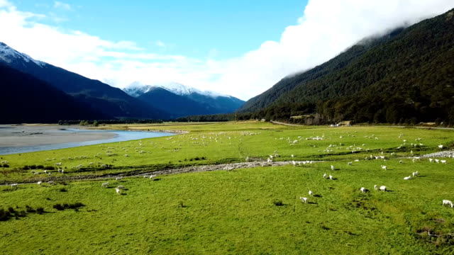 White Sheeps running on Green grass in top view
