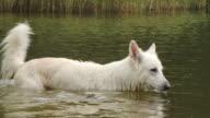 Witte herder hond wandelen in een meer - zomer verfrissing