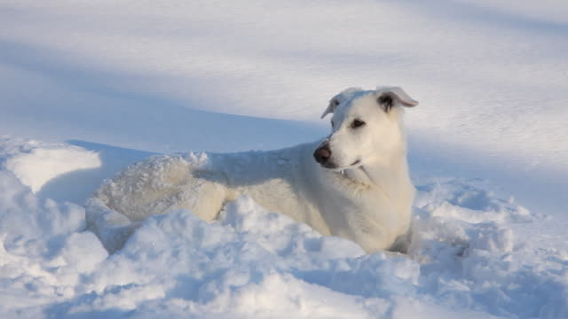 WS PAN White Shepherd Dog lying in snow / Richmond, Virginia, USA
