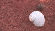 CU, White snail shell on red sandy ground, Berenty Private Reserve, Toliara Province, Madagascar