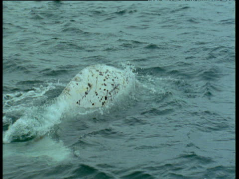 White southern right whale surfaces, Patagonia