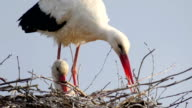 White Stork _Ciconia ciconia_ building nest