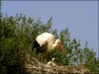White Stork (Ciconia ciconia) on nest with chicks, Dehesa de Abajo (Puebla del Rio, Sevilla), Andalucia, Spain