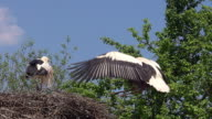 MS SLO MO White Stork (ciconia ciconia) Pair standing on Nest one in Flight / Ribeauville, Alsace, France