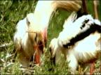 White Stork (Ciconia ciconia) regurgitates food for chicks, Dehesa de Abajo (Puebla del Rio, Sevilla), Andalucia, Spain