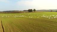 Weiße Schwäne auf dem Feld