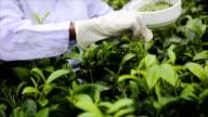 White tea picker